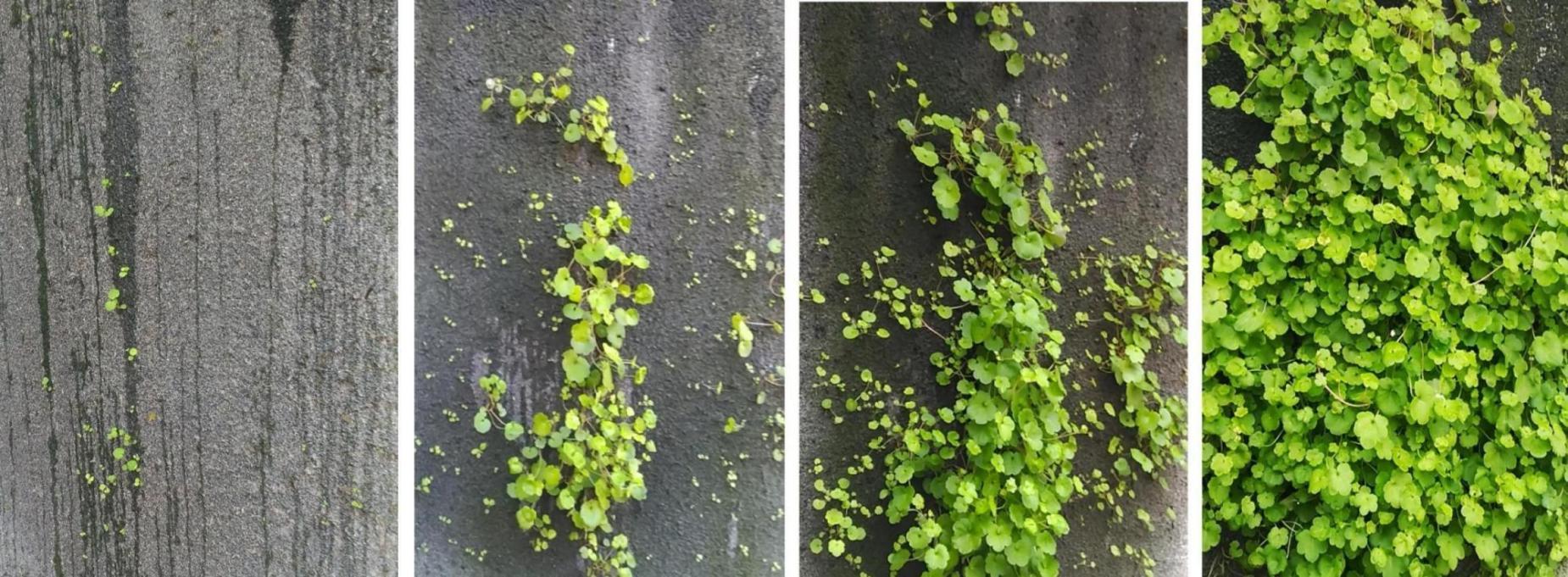 Crecimiento de Jardín Vertical LeafSkin