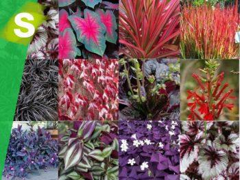 Selección de plantas de hoja roja