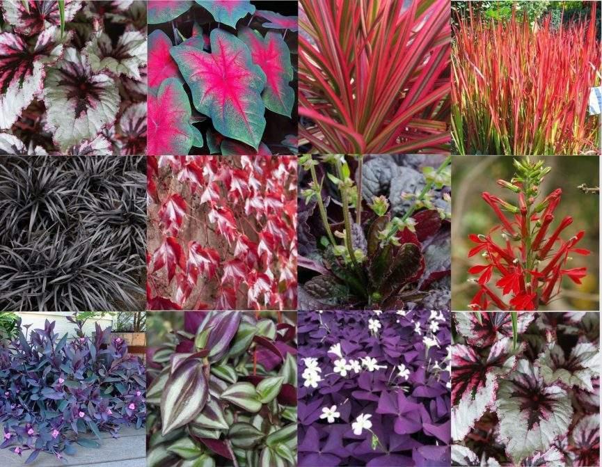 plantas de hoja roja destinadas a jardines verticales