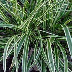Carex morrowii everest
