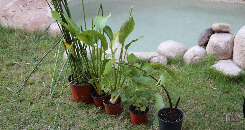 plantas para estanque