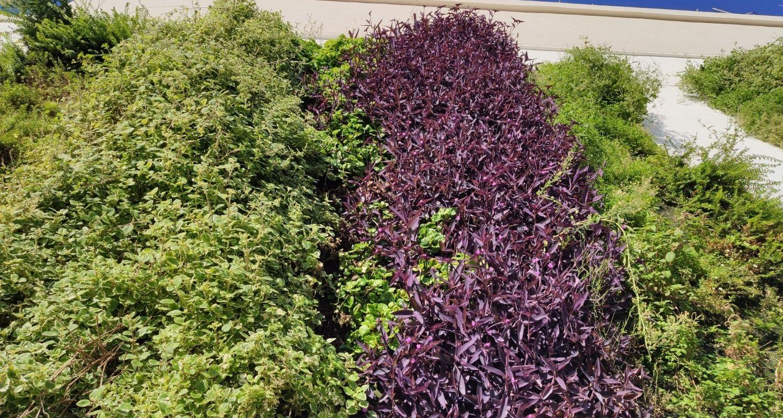 Detalle de plantas moradas en un jardín vertical